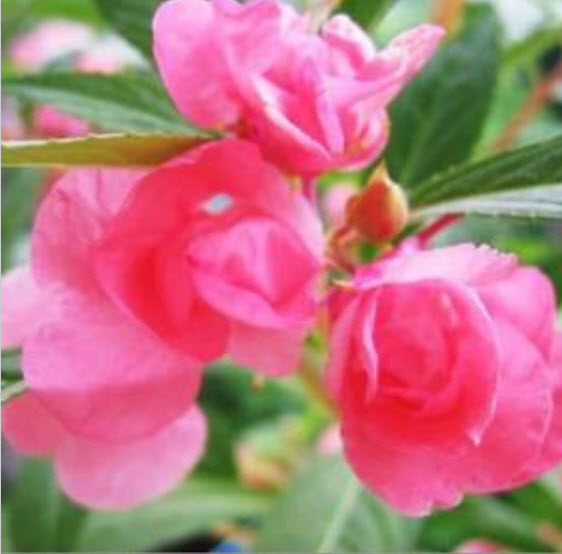 20 Flower Seeds Of Each Pack Red Garden Balsam Camellia Seeds Hot A002 For Gift
