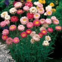 Helichrysum Seeds Bikini Mix 250 Strawflower Seeds